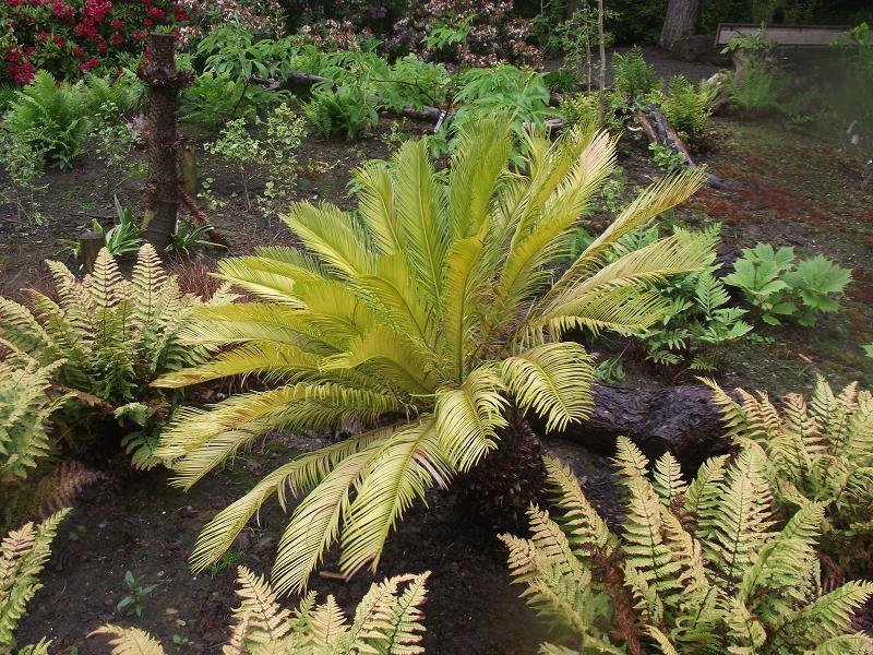 Best Plants Under A Pine Tree : Echium pininiana i enjoyed this planting growing under pine trees