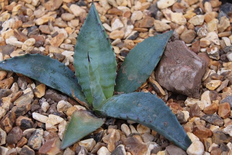 Mirabilis v14 1 Pflanze Sukkulente Topfpflanzen Plant Agave Atrovirens Var
