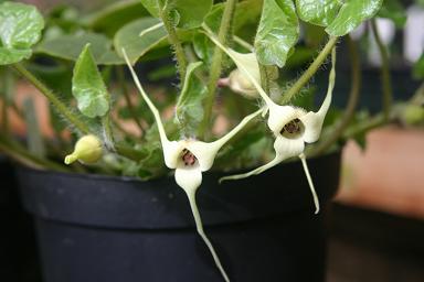Asarum Caudatum Flower