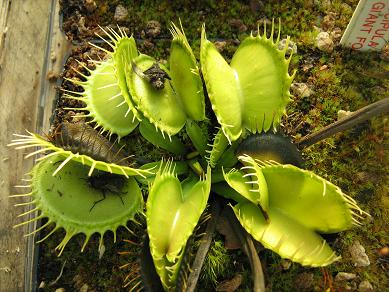 Dionaea muscipula 'All Green Giant Form'